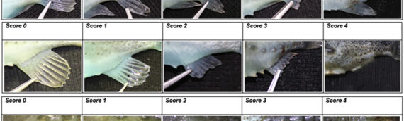 Development, validation and testing of an Operational Welfare Score Index for farmed lumpfish Cyclopterus lumpus L