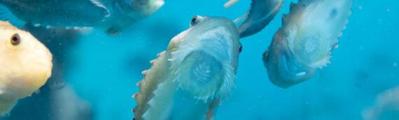 Looking after lumpfish